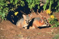 Foxes live in holes in the ground.