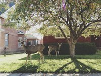Two deer standing in the front yard of a residence in a neighborhood.