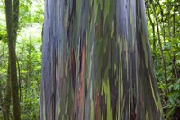 Close-up of Rainbow Eucalyptus tree bark