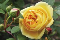 A close-up of a yellow rose.