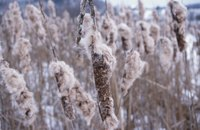 Without control, cattails overtake pond plantings.
