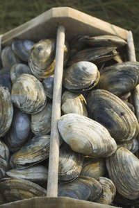 Quahogs are harvested in a manner similar to that of clams.