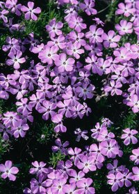 Kill phlox with herbicide and improve tilth with the dead plant matter.