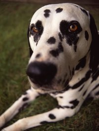 A Dalmatian's spots make it highly recognizable.