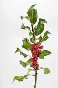 Holly plants add visual appeal to the garden with their red berries and shiny leaves.