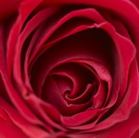 "Red roses are significant in ""Beauty and the Beast."""