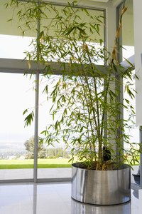 Bamboo grows best near a window when cultivated indoors.