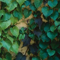 A member of the grape family, ivy clings to masonry.