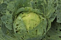 A close-up of a head of cabbage in the garden eaten by caterpillars.