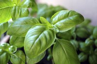 A basil plant grows in a planter.