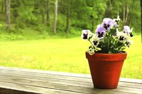 Pansy flowers measure 1 to 3 inches, depending on the cultivar.