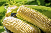 Fresh picked cobs of tender sweet corn in a bowl.