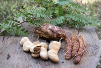 Tamarind seed pods contain up to 12 seeds surrounded by an edible pulp.