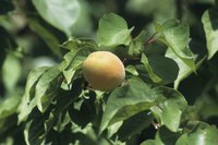 A one-week wait is required for harvesting apricots after applying malathion.