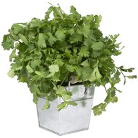 In some areas, annual cilantro reseeds year after year.