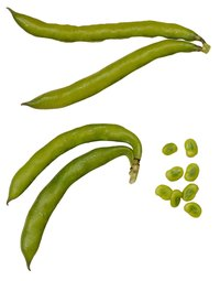 Bean plant seeds, such as from these fava beans, may not germinate properly if their soil does not meet the proper pH requirement.