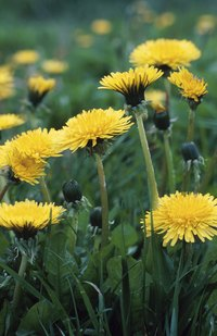Spot-treat dandelions as soon as they emerge to prevent them from multiplying.