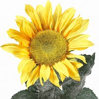 Insects and worms feed on sunflower plants.