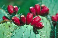 The intimidating-looking prickly pear plant bears both fruits and nutritious leaves.