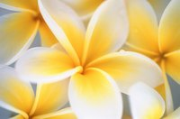 Form a plumeria flower with five petals.