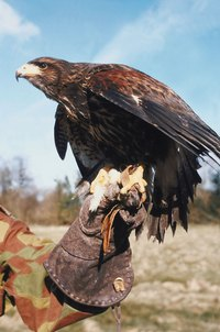 The falconer's glove allows him to carry the bird safely on his arm.