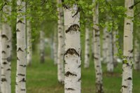 Birches are known for their papery white bark, though not all varieties exhibit this trait.