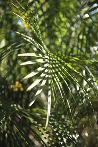 Saw palmetto leaves are used to stitch the coils of a sweetgrass basket.