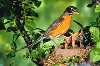 Robins and other birds feast on bug pests and ripe berries.