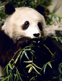 Make a diorama of a panda's habitat to teach children about pandas..
