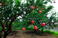 Happy pomegranate trees produce an abundance of edible fruit.
