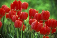 Tulips bloom in springtime.
