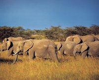 Ivory comes from the tusks of elephants.