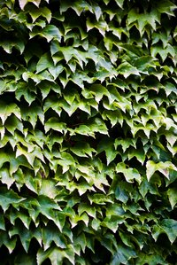 Ivy can be very difficult to remove.