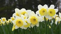 Daffodils are one of the first flowers to bloom in spring.