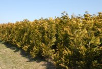 Rows of pyramidal arborvitae