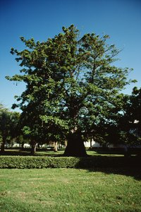A mature podocarpus forms a very wide trunk.