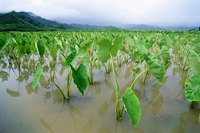 Taro plants have broad, vibrant green leaves.
