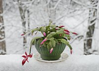 Healthy Christmas cactuses have green leaves when they blossom in late December.