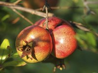 Pomegranate fruits are leathery and round, and grow 2 to 4 inches wide.