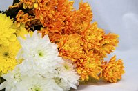 Although considered autumn-flowering plants, some mums are forced and sold virtually all year.