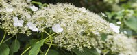 Climbing hydrangea is part of the Hydrangeaceae family.