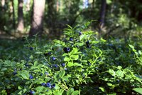 Growing blueberries in Missouri soil is a challenge.