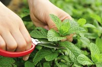A gardener trims a mint plant.