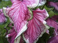 Delicate magenta and green leaves of a caladium plant.