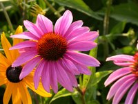 Purple coneflowers growing in the garden.