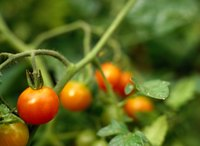 Gardeners can choose from several calcium supplements for their tomatoes.