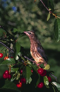 Wild cherries, like their cultivated cousins, are popular with birds.