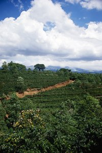 Brazil is the largest grower of commercial coffee trees.