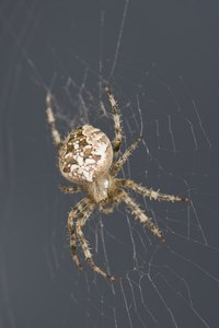 The majority of spiders pose no threat to humans.