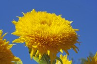 """Teddy Bear"" dwarf sunflowers are good candidates for a children's garden."